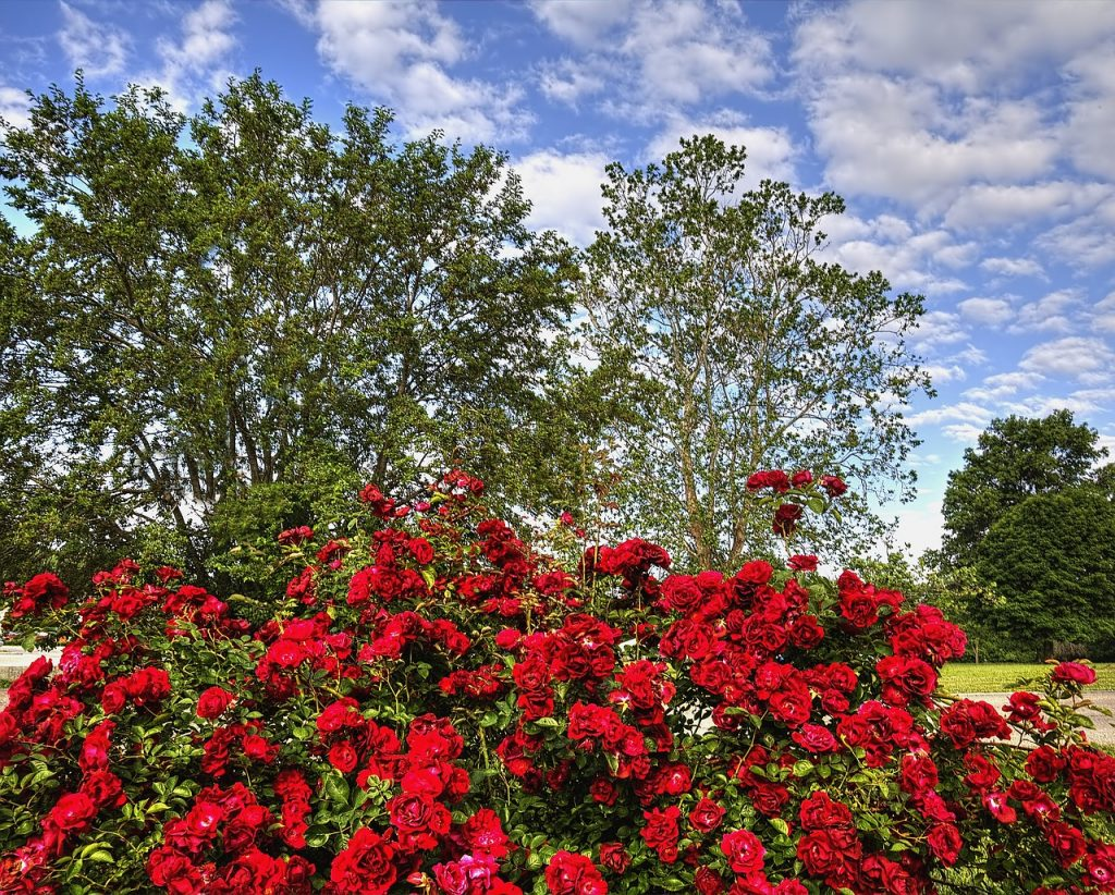 rose, scenery, trees
